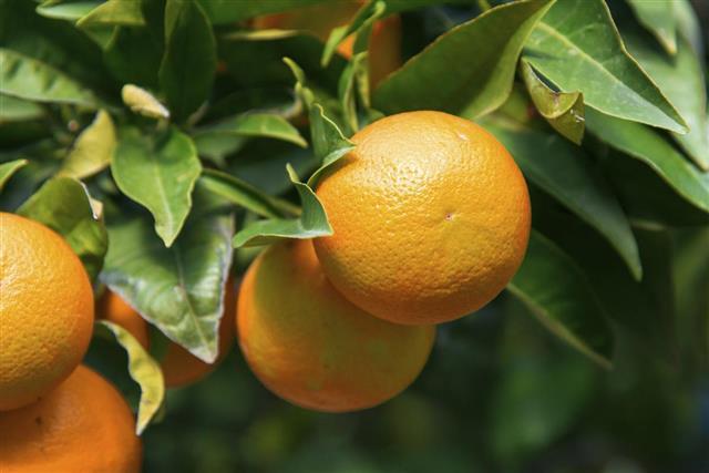 Oranges or mandarines hanging on tree in Spain
