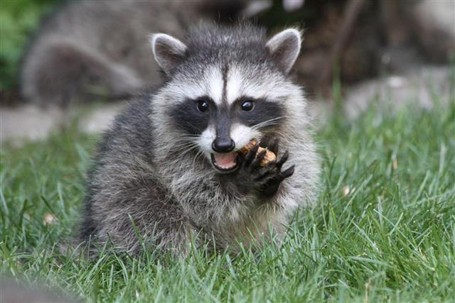 Baby Raccoon eating
