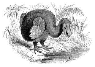 19th century engraving of a dodo bird