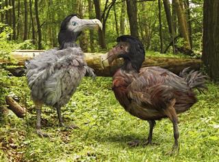 Dodo Birds In Forest