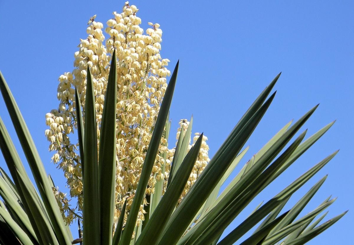 Yucca Palme Blüte