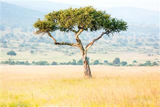 Alone Africa Acacia Tree