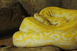 Albino Boa Constrictor