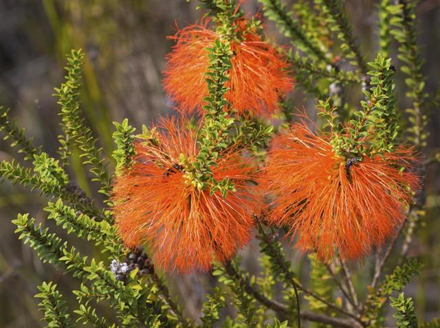 Swamp Bottlebrush Flowers