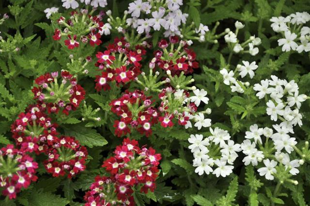 Hybrida / Garden Verbena