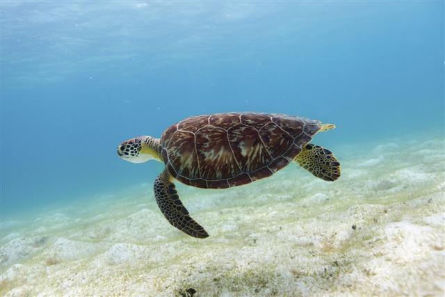 Hawksbill sea turtle