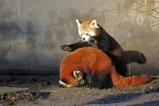 When Pandas Pounce