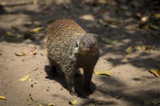 Baned Mongoose