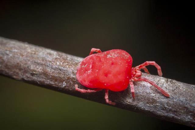 Trombidiidae Velvet Mite