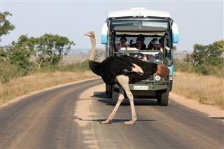 Ostrich In Kruger Park South Africa