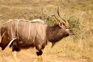 Nyala In The African Bushveld
