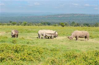 Rhinos In African Savanna Nakuru