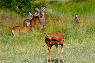 Defassa Waterbucks Maasai Mara