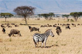Zebra And Blue Wildebeest Migration
