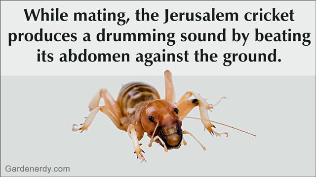 Jerusalem Potato Bug